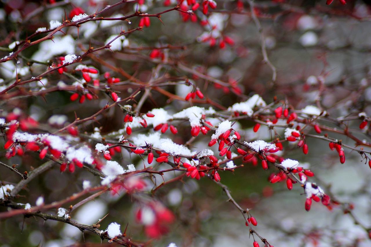 Барбарис в снегу
