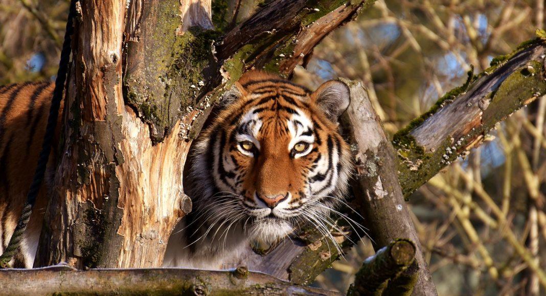 Тигр-2