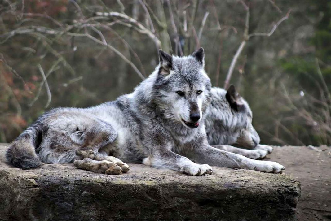 Волки любят